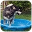 Photo 4 - Alaskan Malamute Dog for adoption in Boise, Idaho - CHLOE