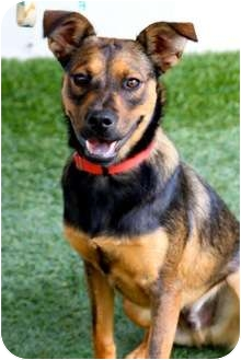 Labrador Retriever/Australian Cattle Dog Mix Puppy for adoption in Mission Viejo, California - Forrest
