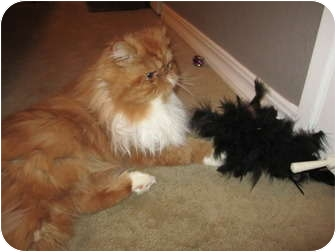 Persian Cat for adoption in Davis, California - Teddy