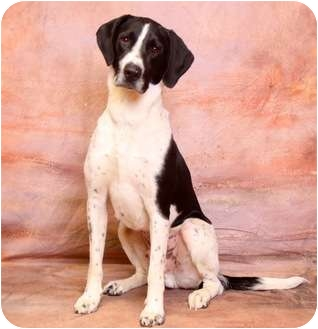 Hound (Unknown Type)/Pointer Mix Dog for adoption in Berea, Ohio - Tex Ritter