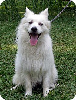 American Eskimo Dog Mix Dog for adoption in Evansville, Indiana - Brock