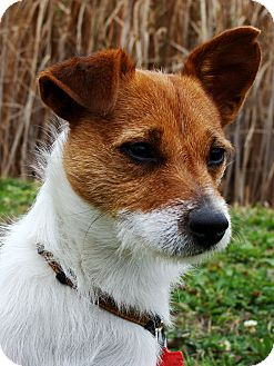 Jack Russell Terrier Dog for adoption in Jackson, Michigan - Kip