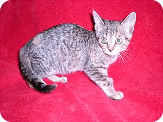 "Domestic Shorthair Kitten for adoption in New Castle, Pennsylvania - "" Gina """