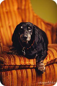 Dachshund Dog for adoption in Portland, Oregon - Bella