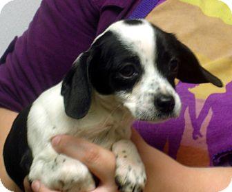 Beagle Mix Puppy for adoption in Greencastle, North Carolina - Julliette