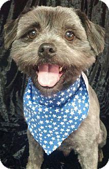 Lhasa Apso/Terrier (Unknown Type, Small) Mix Dog for adoption in Urbana, Ohio - Porky