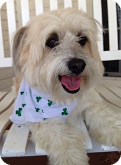 Havanese Mix Dog for adoption in Fort Worth, Texas - CROSBY