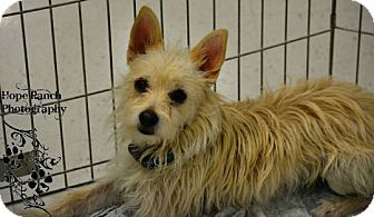 Westie, West Highland White Terrier/Chihuahua Mix Dog for adoption in Anza, California - Pete
