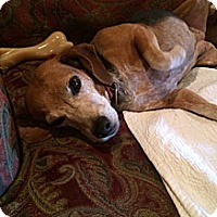Adopt A Pet :: Louise - Somers, CT