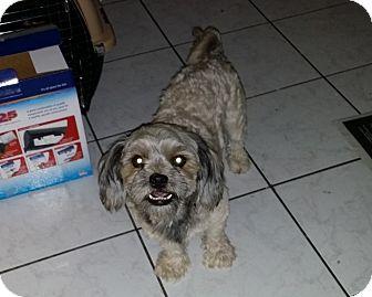 Shih Tzu/Maltese Mix Dog for adoption in Las Vegas, Nevada - Chewy