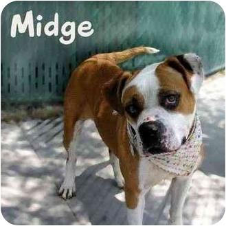 American Bulldog/Boxer Mix Dog for adoption in Encino, California - Midge
