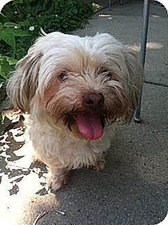 Lhasa Apso Mix Dog for adoption in West Allis, Wisconsin - Patsy