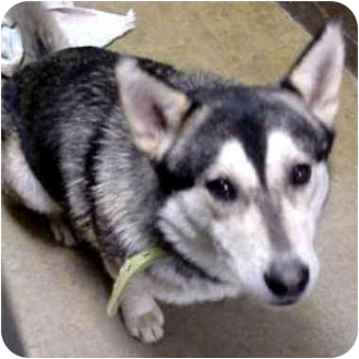 Alaskan Malamute Dog for adoption in Various Locations, Indiana - Tick