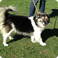 Adopt A Pet :: Olivia - La Habra, CA