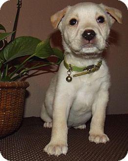Labrador Retriever Mix Puppy for adoption in Middletown, Rhode Island - Turkey