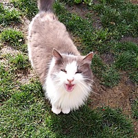 Domestic Mediumhair Cat for adoption in San Pablo, California - PUDDING