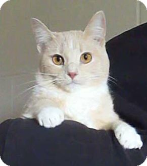 Domestic Shorthair Cat for adoption in Pulaski, Tennessee - Princess