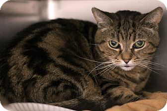 Domestic Shorthair Cat for adoption in Chicago, Illinois - PJ Tiger