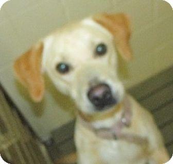 Labrador Retriever Mix Dog for adoption in Aiken, South Carolina - AMIE