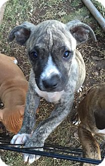 Pit Bull Terrier/Whippet Mix Puppy for adoption in Newcastle, Oklahoma - Smoke