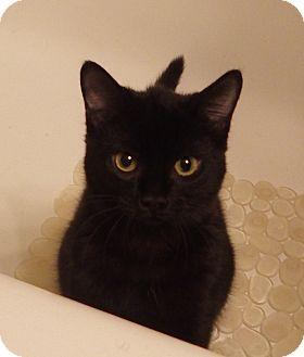 Domestic Shorthair Kitten for adoption in Quail Valley, California - Salsa