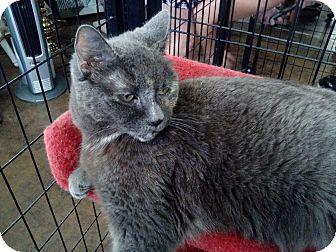 Domestic Shorthair Cat for adoption in Glendale, Arizona - Kira