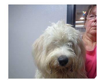 Cockapoo Dog for adoption in Manassas, Virginia - Farmer