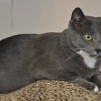 Domestic Shorthair/Domestic Shorthair Mix Cat for adoption in Pompano Beach, Florida - Dustin