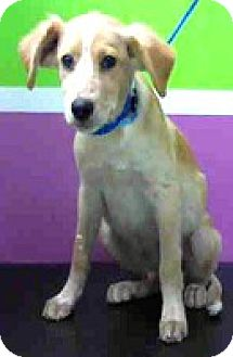 Golden Retriever/Labrador Retriever Mix Puppy for adoption in Boulder, Colorado - Jack-ADOPTION PENDING