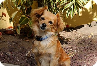Spaniel (Unknown Type) Mix Dog for adoption in Los Angeles, California - Gypsy - 9 pounds