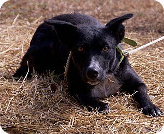Border Collie Mix Dog for adoption in Hagerstown, Maryland - rosie -$150