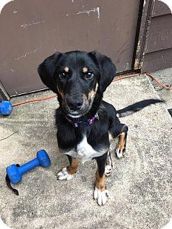 Beagle/Doberman Pinscher Mix Puppy for adoption in WADSWORTH, Illinois - KARMA