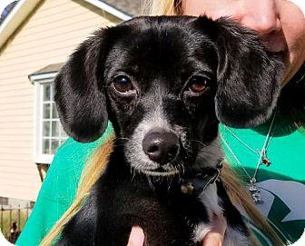 Beagle/Chihuahua Mix Dog for adoption in Rock Hill, South Carolina - Gabby