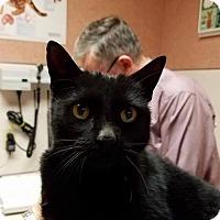 Adopt A Pet :: Black Jack - Middlebury, CT