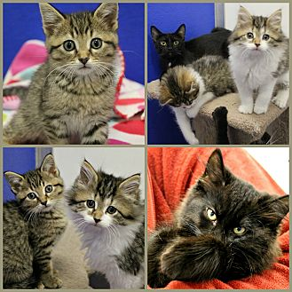 Domestic Shorthair Kitten for adoption in Dunkirk, New York - Kittens!