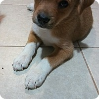 Adopt A Pet :: Sissy - oklahoma city, OK
