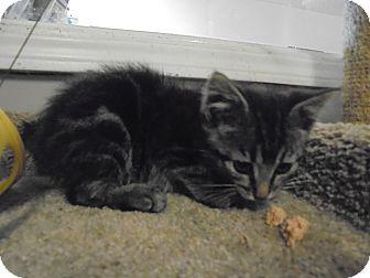 Manx Kitten for adoption in Okmulgee, Oklahoma - Mannie