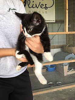 Domestic Shorthair Kitten for adoption in Middleton, Wisconsin - Cory