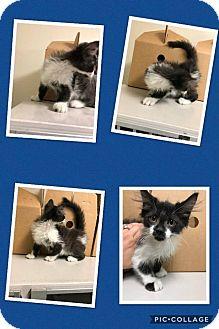 Domestic Longhair Kitten for adoption in Cheboygan, Michigan - GARFUNKEL