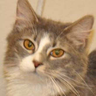 Domestic Longhair/Domestic Shorthair Mix Cat for adoption in Tilton, Illinois - Isabella
