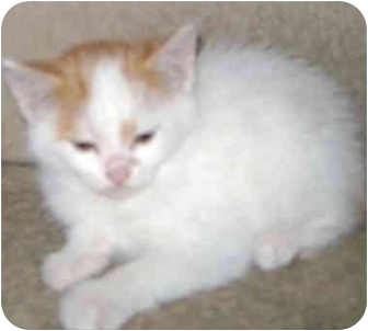 Domestic Shorthair Kitten for adoption in Etobicoke, Ontario - babby boy