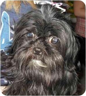 Shih Tzu Dog for adoption in Lonedell, Missouri - Asia