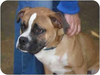Boxer Mix Puppy for adoption in Vista, California - Joe