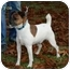 Photo 1 - Jack Russell Terrier Mix Dog for adoption in Rhinebeck, New York - Joker