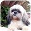 Photo 3 - Lhasa Apso Dog for adoption in Los Angeles, California - BRONSON