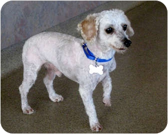 Maltese/Poodle (Miniature) Mix Dog for adoption in Marina del Rey, California - Sidney