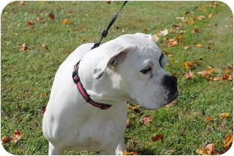 Boxer Dog for adoption in ARDEN, North Carolina - Lola
