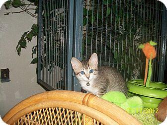 Domestic Shorthair Kitten for adoption in Palm Springs, California - Georgie Girl