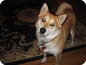 Shiba Inu Mix Dog for adoption in Avon, New York - Mia