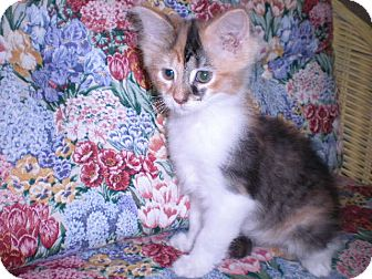 "Calico Kitten for adoption in New Castle, Pennsylvania - "" Roxy """